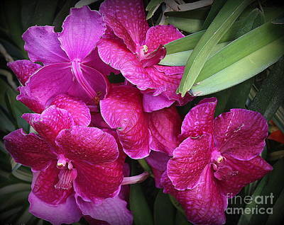 Photograph - Orchids Lovely In Magenta by Dora Sofia Caputo Photographic Art and Design