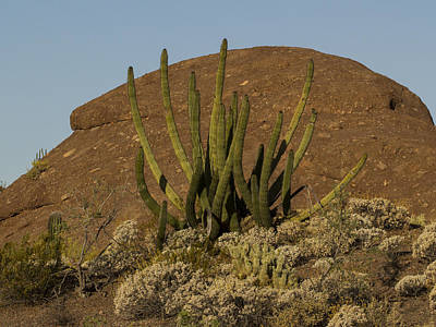 Photograph - Organ Pipe Cactus by Jean Noren