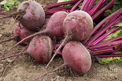 Photograph - Organic Harvested Beets by Inga Spence