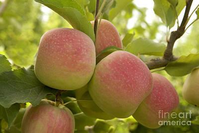Organic Pink Lady Apples Art Print