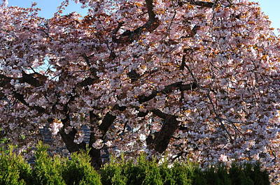 Photograph - Ornamental Cherry Tree Prunus Serrulata Shirofugen by Martin Stankewitz