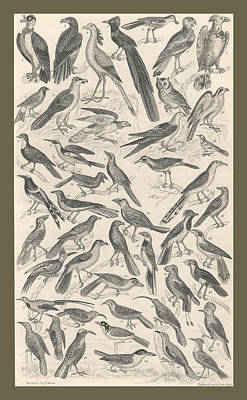 Condor Drawing - Ornithology by Dreyer Wildlife Print Collections