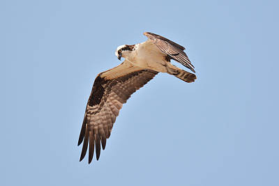 Photograph - Osprey by Alan Lenk