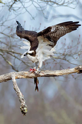 Photograph - Osprey  by Bill Wakeley