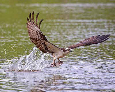 Photograph - Osprey Catch by Alan Raasch