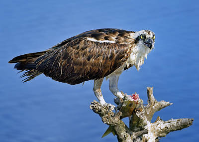 Photograph - Osprey Feast by Bill Dodsworth