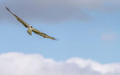 Photograph - Osprey Hunting by Framing Places