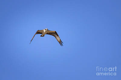Photograph - Osprey In Flight by Richard Smith