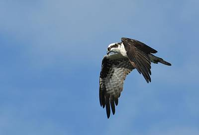 Photograph - Osprey Outlook by Fraida Gutovich