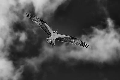 Photograph - Osprey by Sagittarius Viking