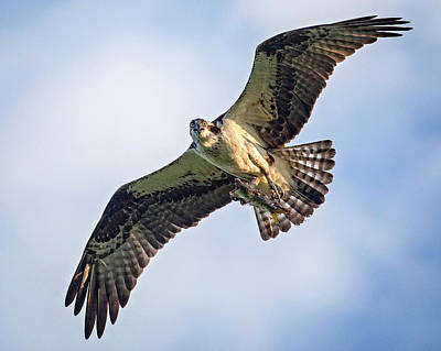 Photograph - Osprey With Catch by Alan Raasch