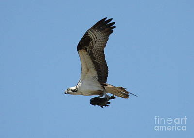 Photograph - Osprey With Fish by Carol Groenen