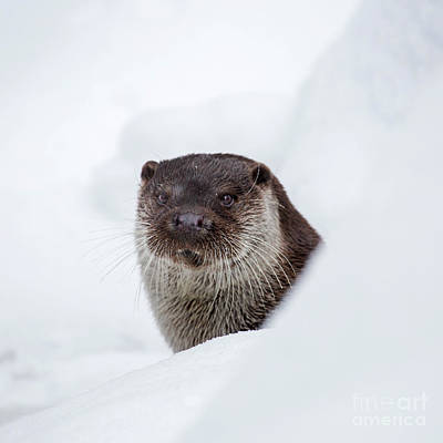 Photograph - Otter In Winter by Arterra Picture Library