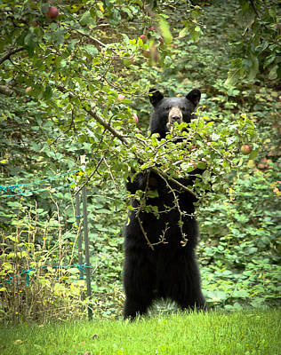 Photograph - Our Bear Loves Apples by Ronda Broatch