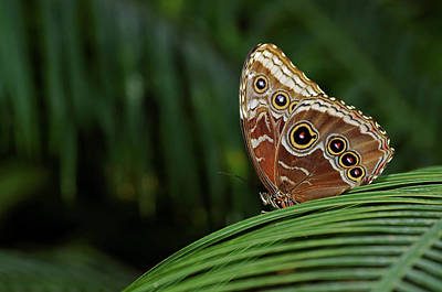 Photograph - Owl Butterfly by JT Lewis