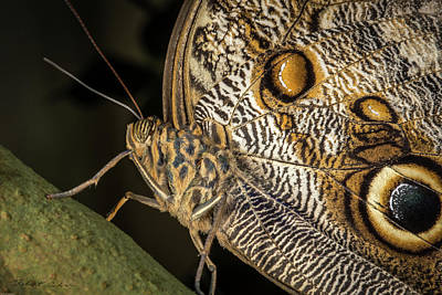Photograph - Owl Butterfly by Robert Culver