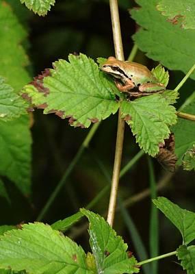 Photograph - Pacific Chorus Frog by I'ina Van Lawick