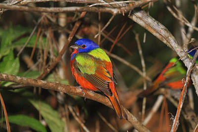 Painted Bunting Original by John Absher