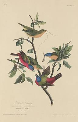Audubon Drawing - Painted Bunting by Dreyer Wildlife Print Collections
