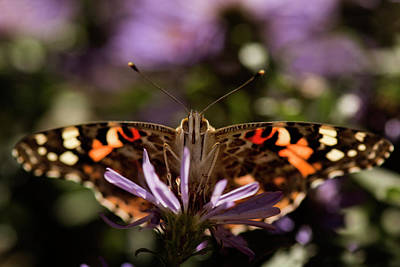 Photograph - Painted Lady by Erica Kinsella