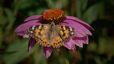 Photograph - Painted Lady by Tim Good