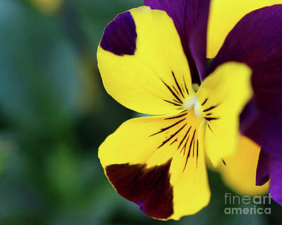 Photograph - Painted Pansy by Karen Adams