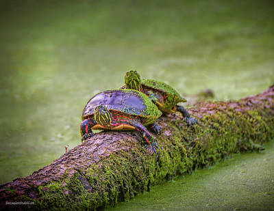 Photograph - Painted Turtle On A Log by LeeAnn McLaneGoetz McLaneGoetzStudioLLCcom