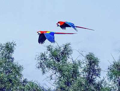Photograph - Pair Of Flying Macaws by William Bitman