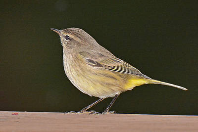Photograph - Palm Warbler by Alan Lenk