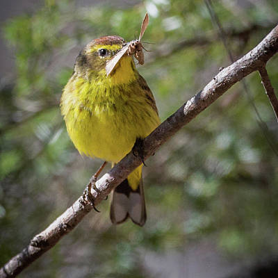 Photograph - Palm Warbler by Bill Wakeley