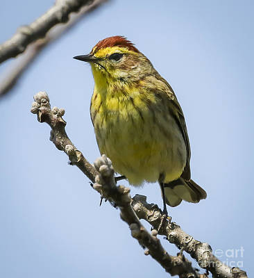 Photograph - Palm Warbler by Ricky L Jones