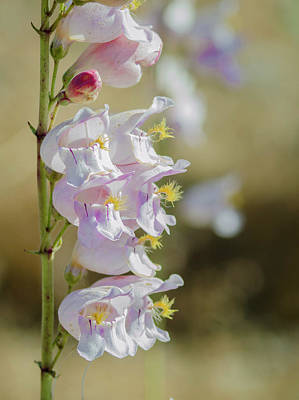 Photograph - Palmer's Penstemon by Rick Mosher