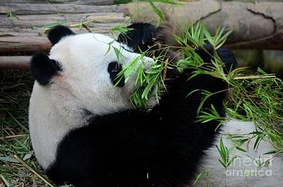 Photograph - Panda Bear Lies On Back And Eats Green Bamboo Shoot Plants by Imran Ahmed