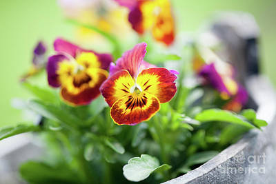 Photograph - Pansies by Kati Finell
