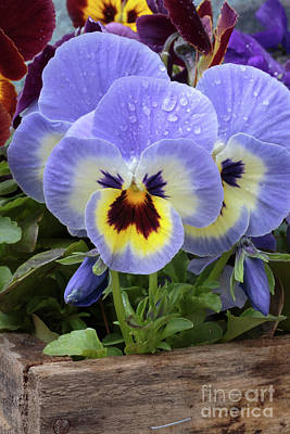 Pansy Flowers Print by Edward Fielding