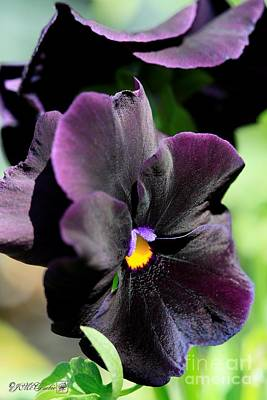Photograph - Pansy Named Halloween II by J McCombie