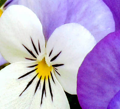 Photograph - Pansy Spring Awakening In New Orleans by Michael Hoard