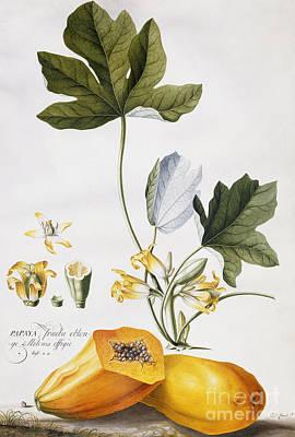 Tree Plantation Painting - Papaya by Georg Dionysius Ehret