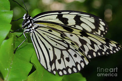 Photograph - Paper Rice Butterfly by Donna Brown
