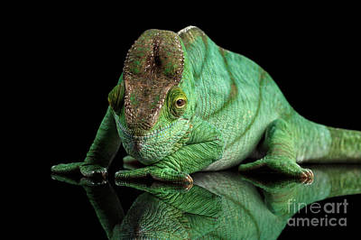 Reptile Photograph - Parson Chameleon, Calumma Parsoni Orange Eye On Black by Sergey Taran