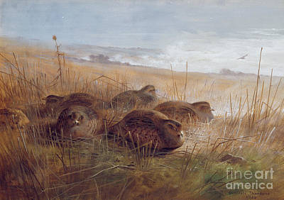 Partridge Painting - Partridges by Archibald Thorburn
