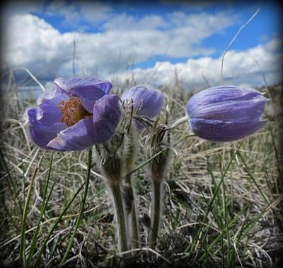 Flora Macdonald Photograph - Pasqueflower by Leah Grunzke