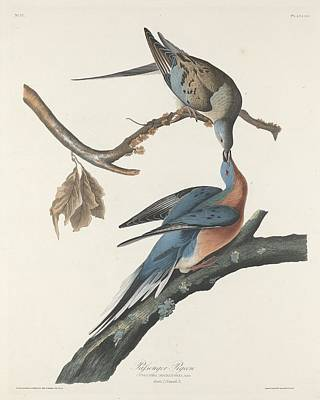 Passenger Pigeon Art Print by Rob Dreyer