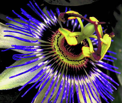 Passiflora Photograph - Passion Flower by Martin Newman