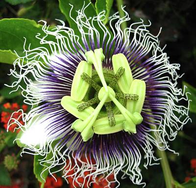 Passion Flower Art Print by Mary Ellen Frazee