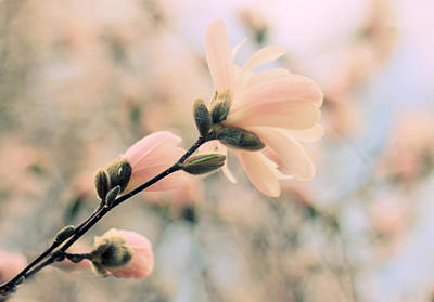 Magnolia Blossom Photograph - Pastel Petals by Jessica Jenney