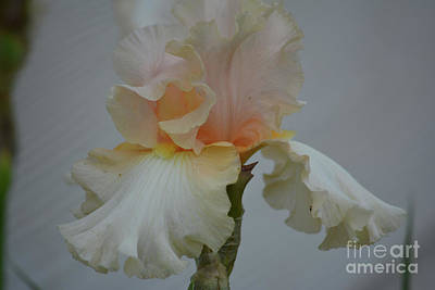 Photograph - Peach Color Iris by Ruth Housley