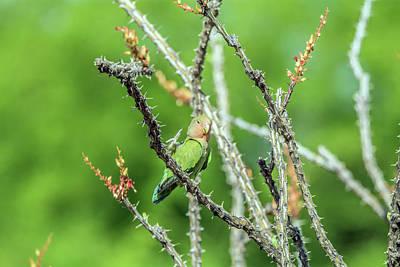 Photograph - Peach-faced Love Bird by Tam Ryan