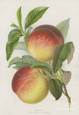 Vine Painting - Peaches by English School