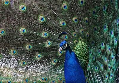 Peacock Beauty Original
